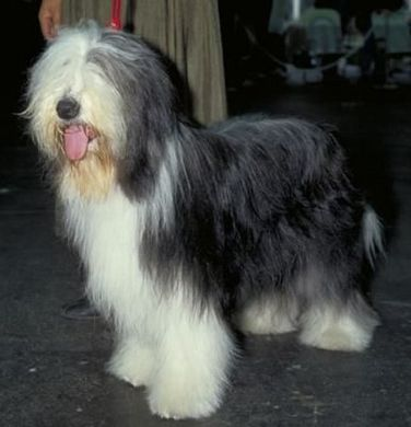 240113_Bearded Collie.jpg